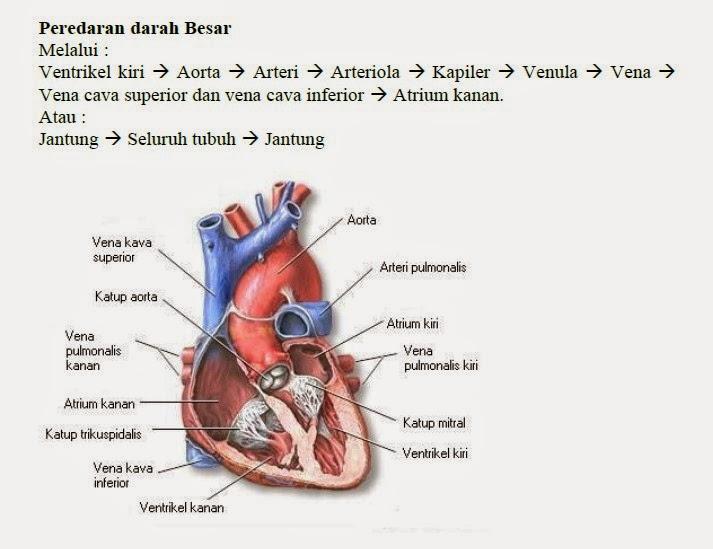 Peredaran darah panjang/besar/sistemik