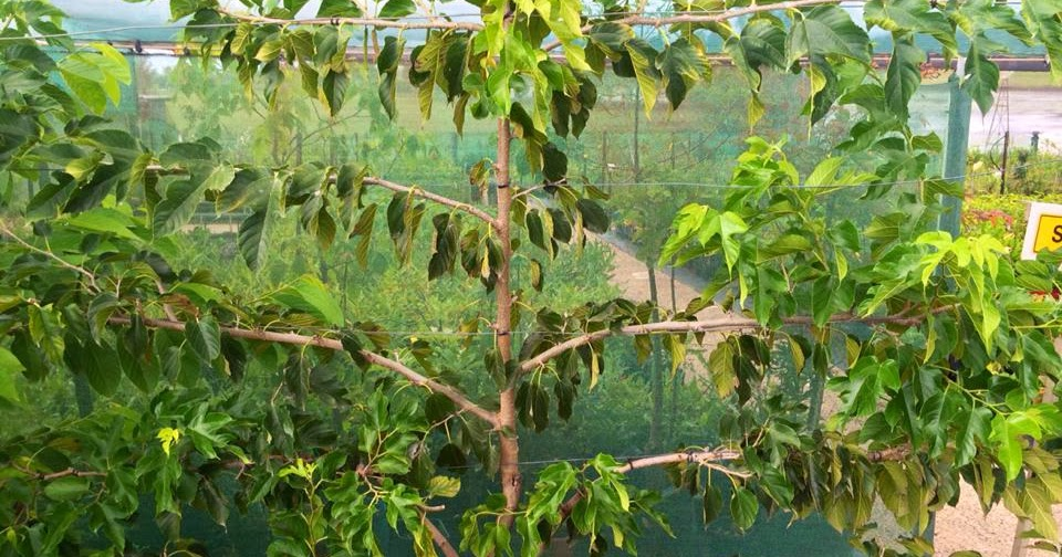 Daleys Fruit Tree Blog Dwarf Red Shahtoot Mulberry Tree