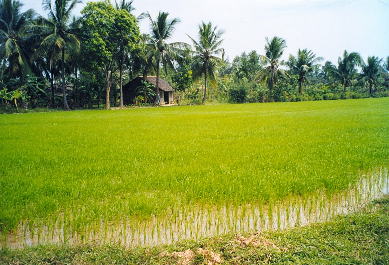 Ben tre rice field, beautiful places in Vietnam through eyes of foreigners, new beautiful places to see in Vietnam