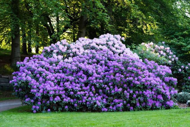 Tanaman Rhododendron Bush yang bisa membunuh