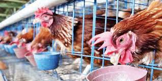 Viterna plus untuk ayam petelur