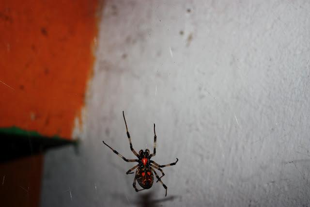 Опасные насекомые в Гоа - Паук