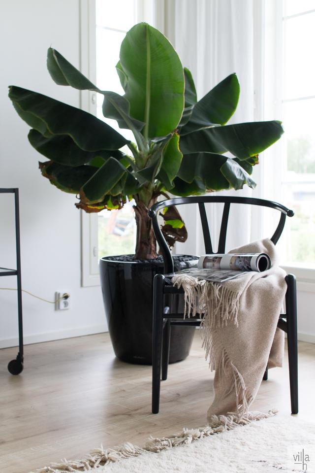 banaanipuu, interior, sisustus, y-tuoli, olohuone