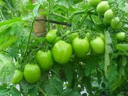 Membuat Insektisida Alami Dari Daun Tomat