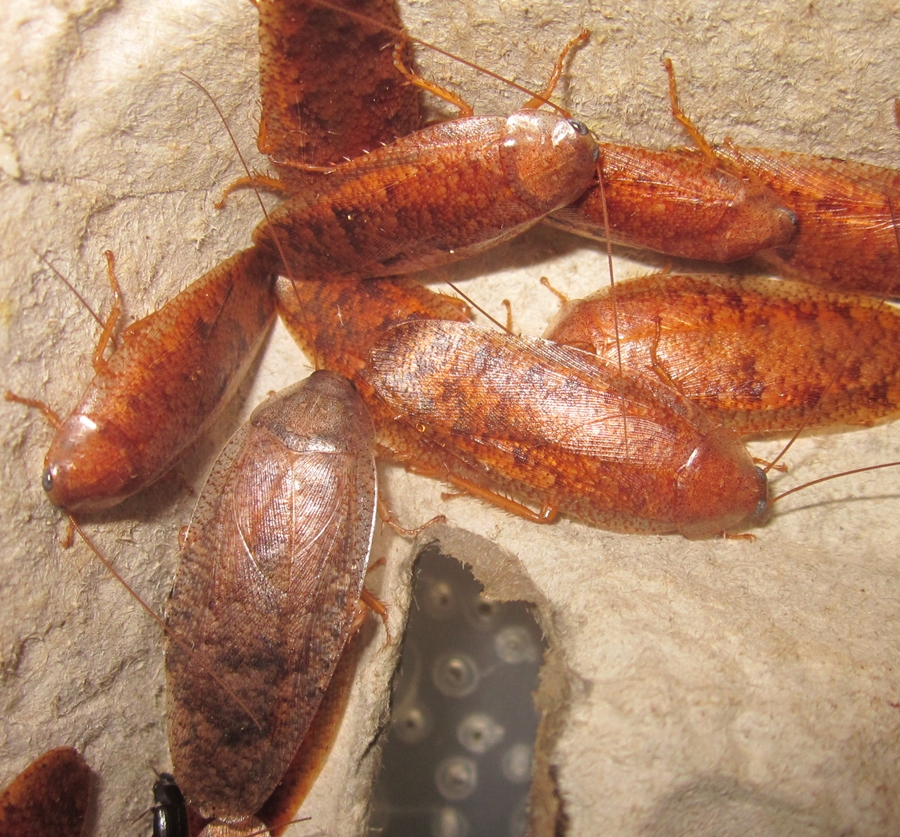 Hisserdude's Roaches - Page 2 Rhabdoblatta%25233