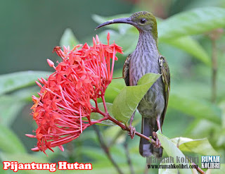 kolibri gunung besar
