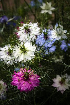 https://pixabay.com/pl/kwiaty-czarnuszka-ro%C5%9Blina-2565375/