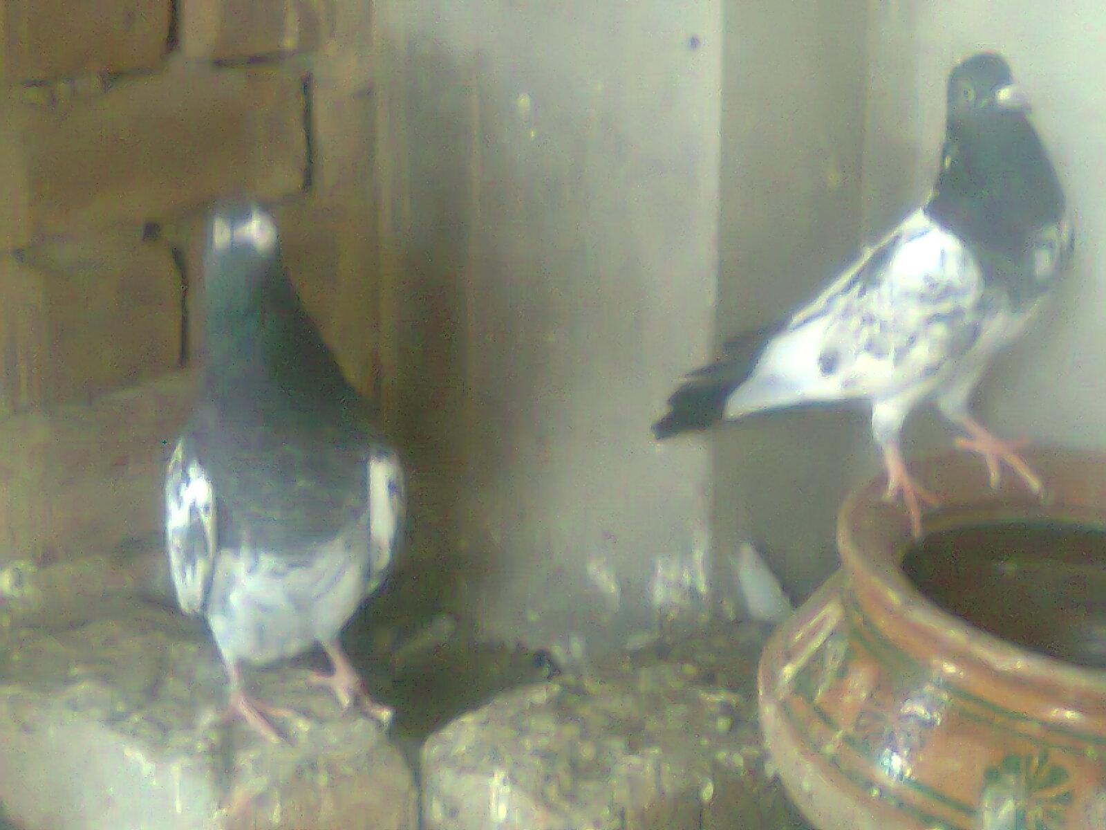 Rampuri Kabootar | White Eye pigeons-03334445044 or