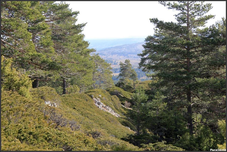 Sabinas rastreras y pinos albares en la Ceja De La Vega (Guadalaviar)