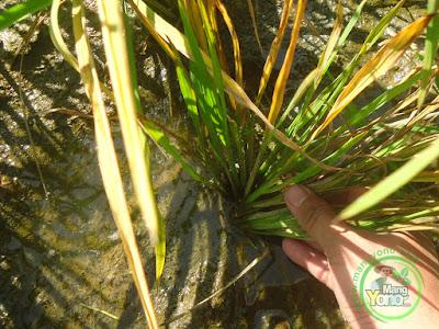 Tanaman padi Ciherang saya yang terserang hama wereng tumbuh tunas baru