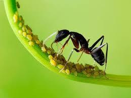 Kutu daun dengan semut