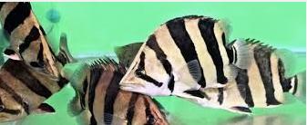Ikan Predator Air Tawar Unik