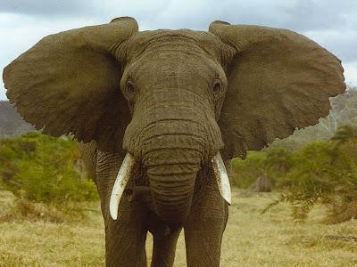 Belalai gajah 2