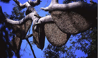 madu hutan, madu hutan asli, madu hutan liar, madu hutan buat ibu hamil, madu hutan harga, madu hutan ibu hamil,