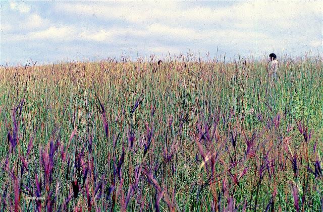 tallgrass prairie with lots of big bluestem flowering