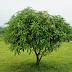 Cara Menyambung Pohon Mangga Metode Stek