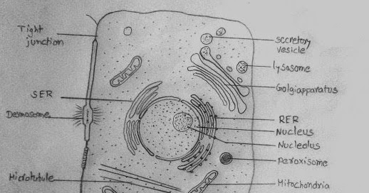 Draw it neat how to draw animal cell ccuart Image collections