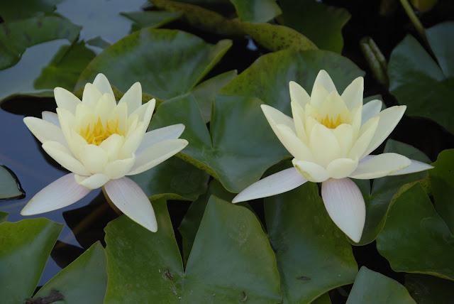 synchronized lilies: LadyD Books