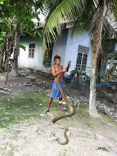 Seorang Pria Bermain Dengan Ular King Kobra
