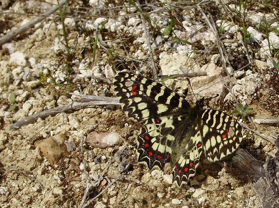 Bolboreta Zerynthia rumina