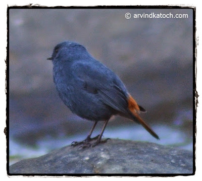 Male, Plumbeous Water Redstart, from Back