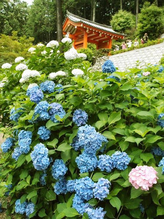追逐一頭大雨中的狼 K i d u l t : 【2013 京都】「三室戶寺」初夏的紫陽花盛宴。