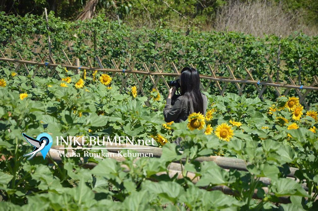 Heboh Kebun Bunga di Ambal, Inilah Lokasi Tepatnya!