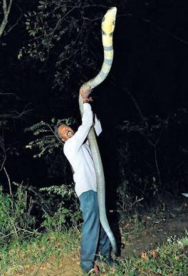 King kobra terbesar berhasil ditangkap