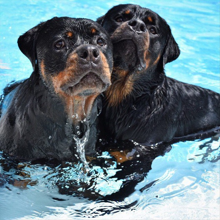 Rottweilers 01