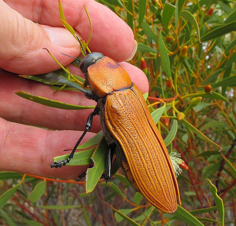 Jewel beetle wa