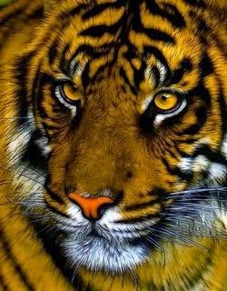 Gambar Flora Fauna Indonesia Harimau Sumatera Macam Jenis Hewan Macan Nusantara