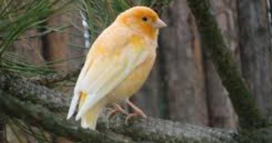 Asal Muasal Dan Habitat Asli Burung Kenari Kicau Mania