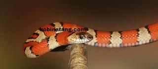 ular Hewan Peliharaan Lucu di Rumah yang Mudah Dipelihara dan Murah
