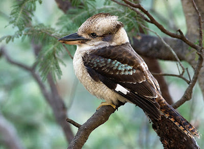 Kookaburra [Dacelo] Facts