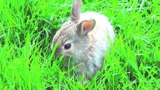 rumput hay untuk kelinci