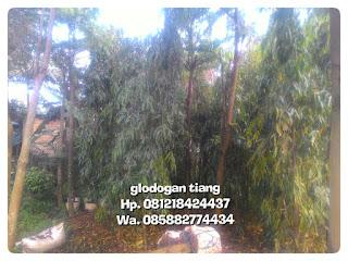 Tukang Taman menjual pohon pelindung tinggi glodogan tiang harga murah