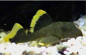 Ikan Sapu Sapu Magnum pleco