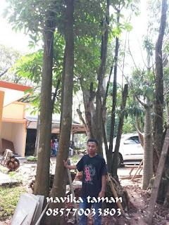 Jual Pohon Pule/Pulai | Pohon Pule Exotic | Jasa Tukang Taman Bogor