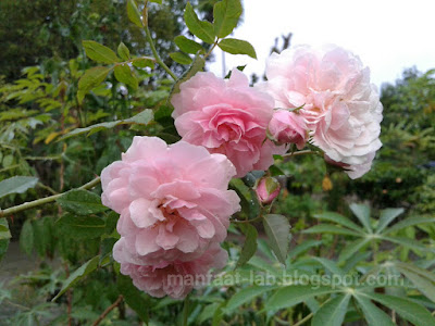 Bunga Mawar merah indah menawan