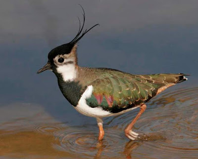 Lapwing - animals beginning with L