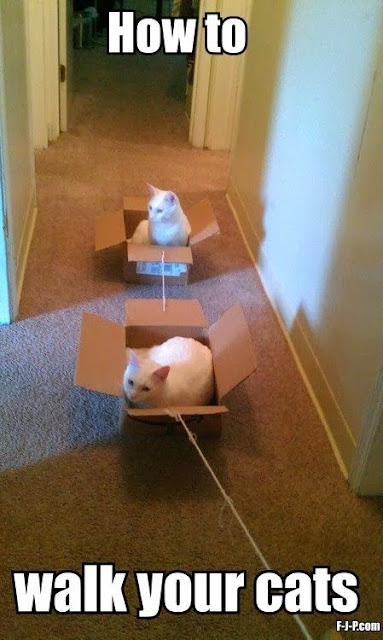 take cat for walk, cats in boxes, if i fits i sits, white cats, cat humor, funny cat pictures, pet cats, indoor cats, owning multiple cats, care for cats