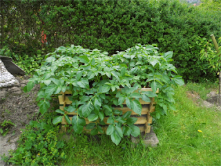 Kartoffelturm nach 1 Monat