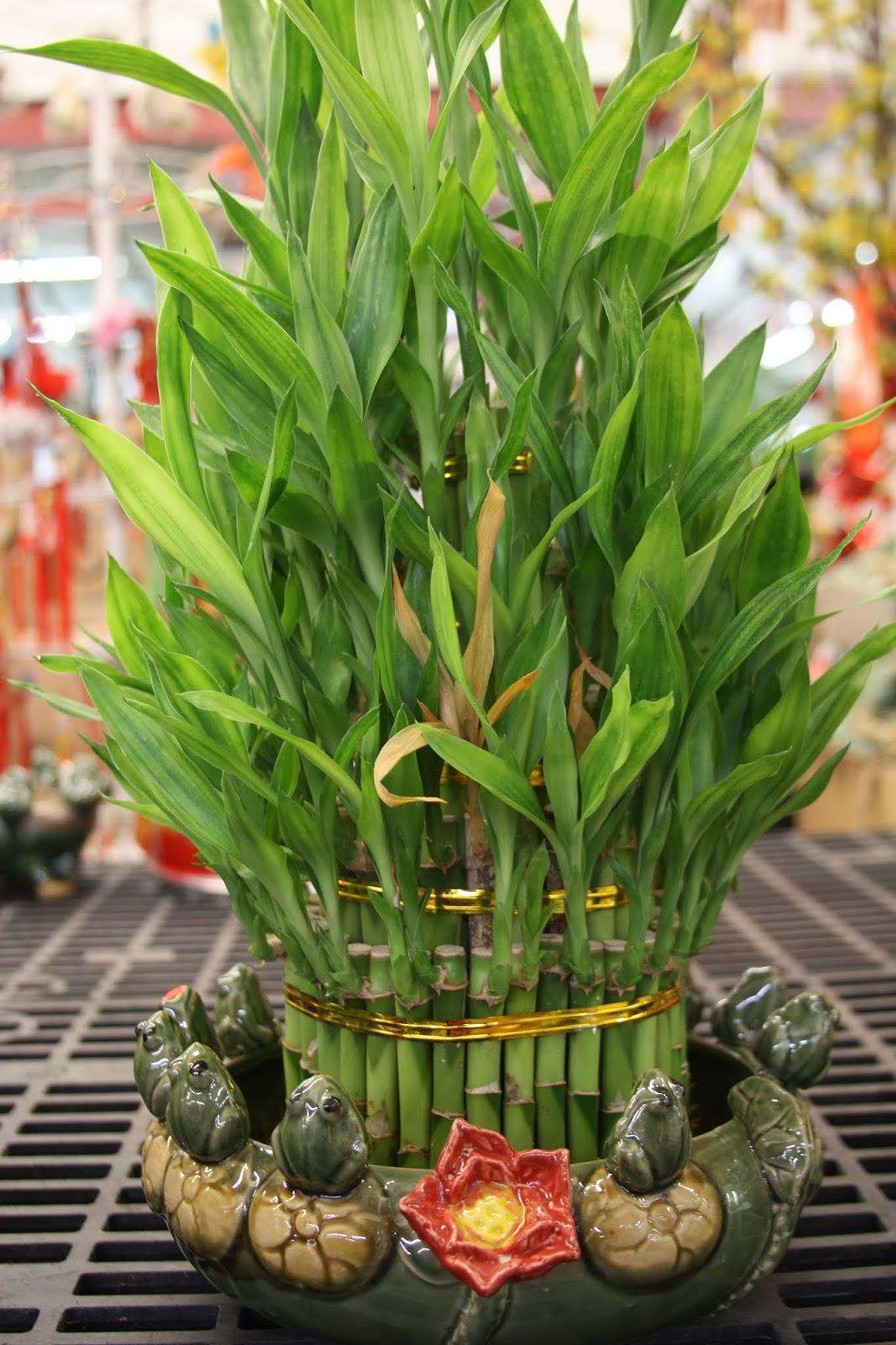 Camellia Japonica Roger Hall lucky bamboo is dracaena sanderians, goddess of mercy's plant