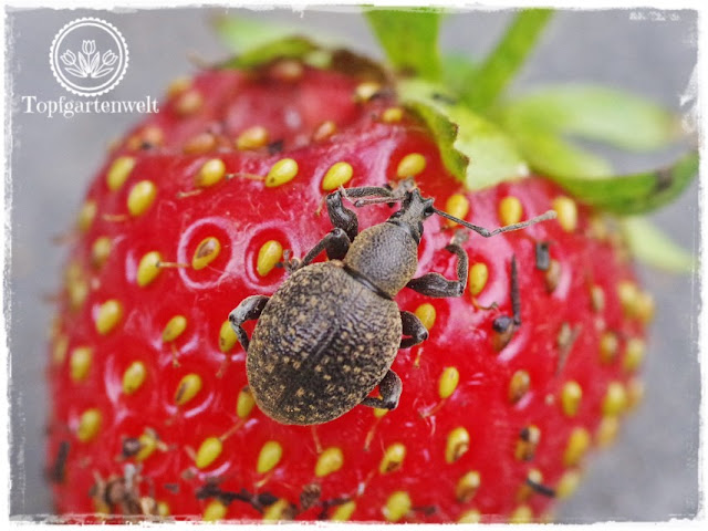 Gartenblog Foodblog Topfgartenwelt Dickmaulrüssler bekämpfen: Dickmaulrüssler töten - gefurchter Dickmaulrüssler