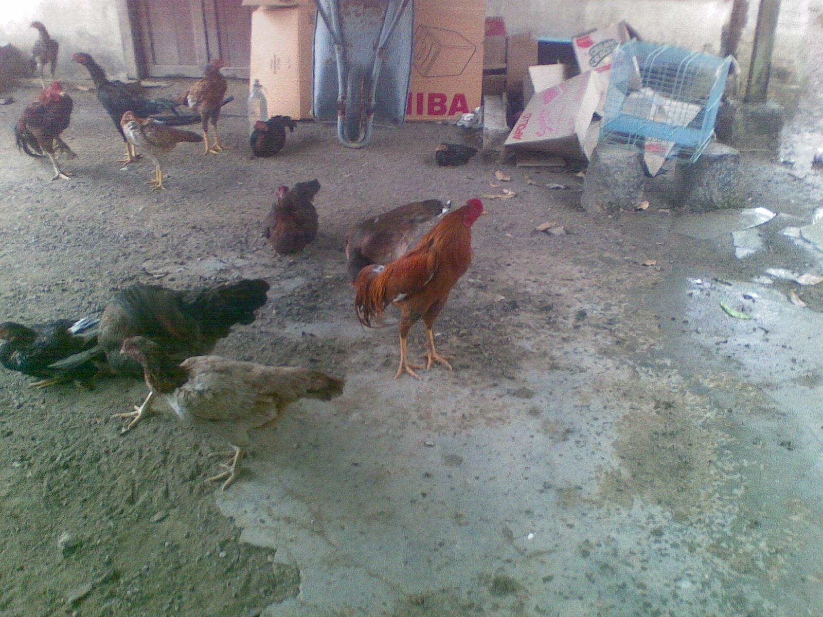 Ayam Siam Ayam Sabung April