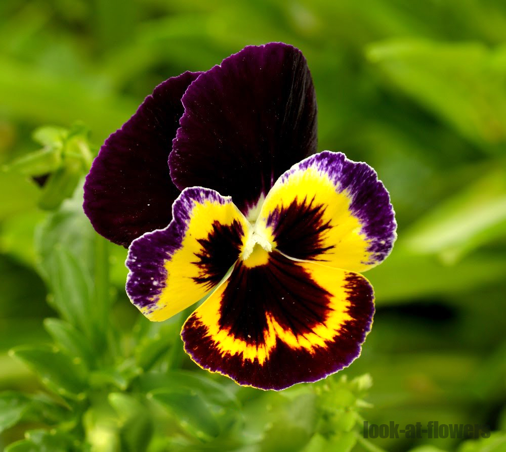 Pansy Flowerpictures Of Flowers