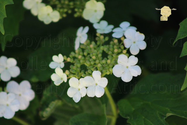 White Bridal Wreath Flowers Fine Art Photograph