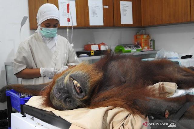 Orangutan ini ditembaki 74 peluru