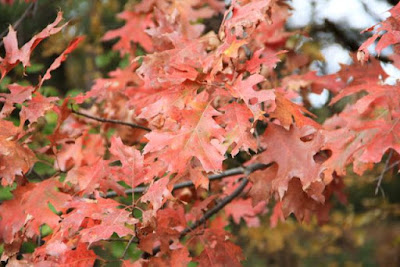 rubiginous oak leaves?