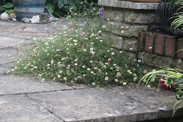 Erigeron at the top of the central patio steps at Great Dixter